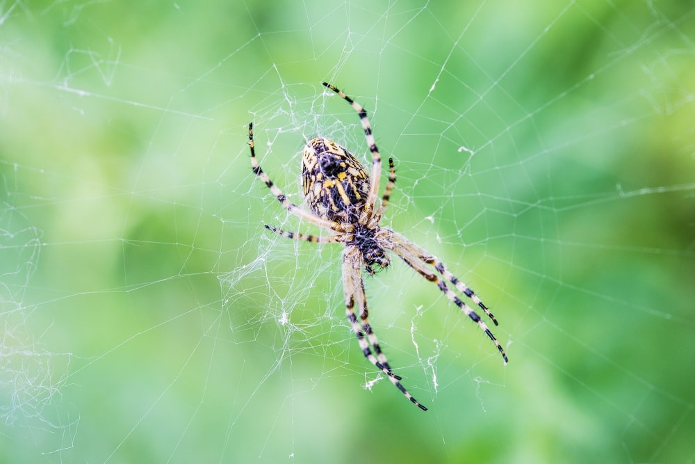 What Attracts Spiders to Your House and Yard