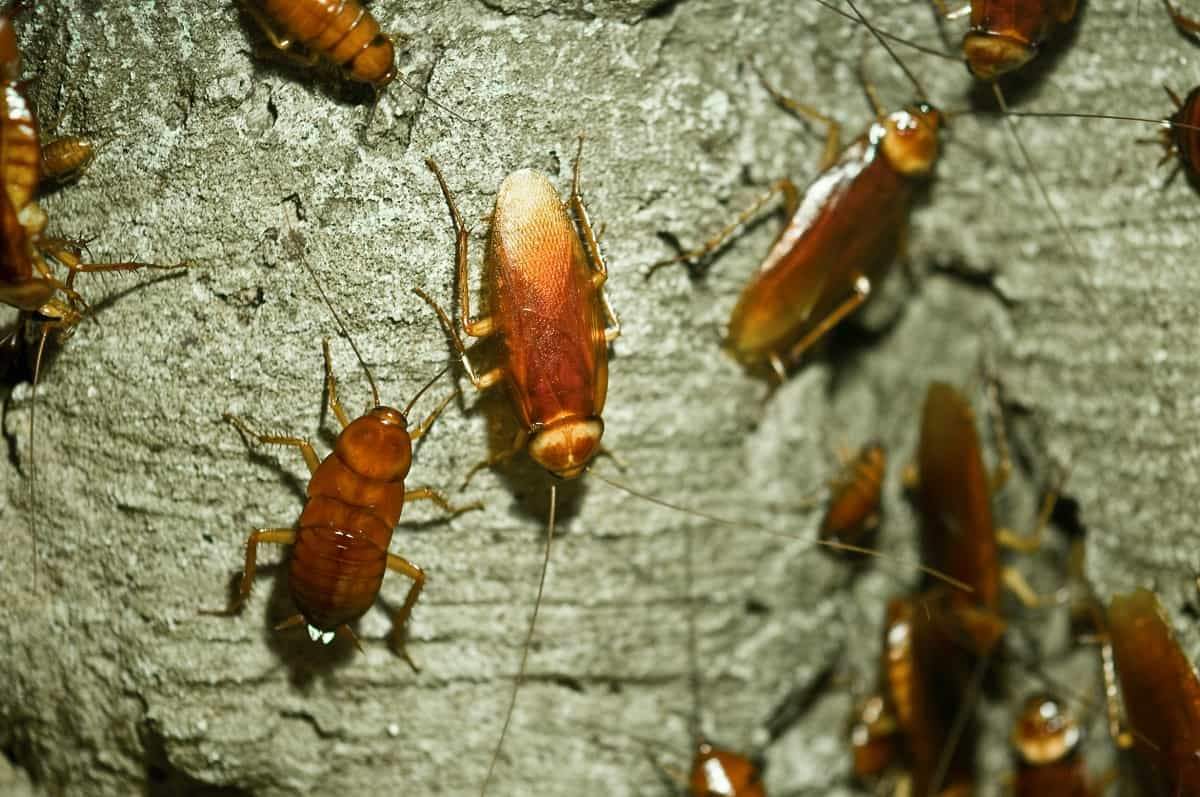 Katsaridaphobia-(Fear-of-Cockroaches)