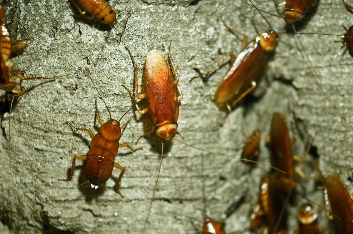 Katsaridaphobia-(Fear-of-Cockroaches)