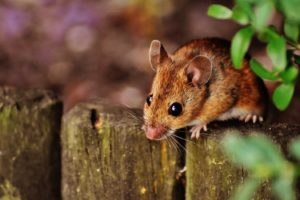 Musophobia (Fear of Mice and Rats)