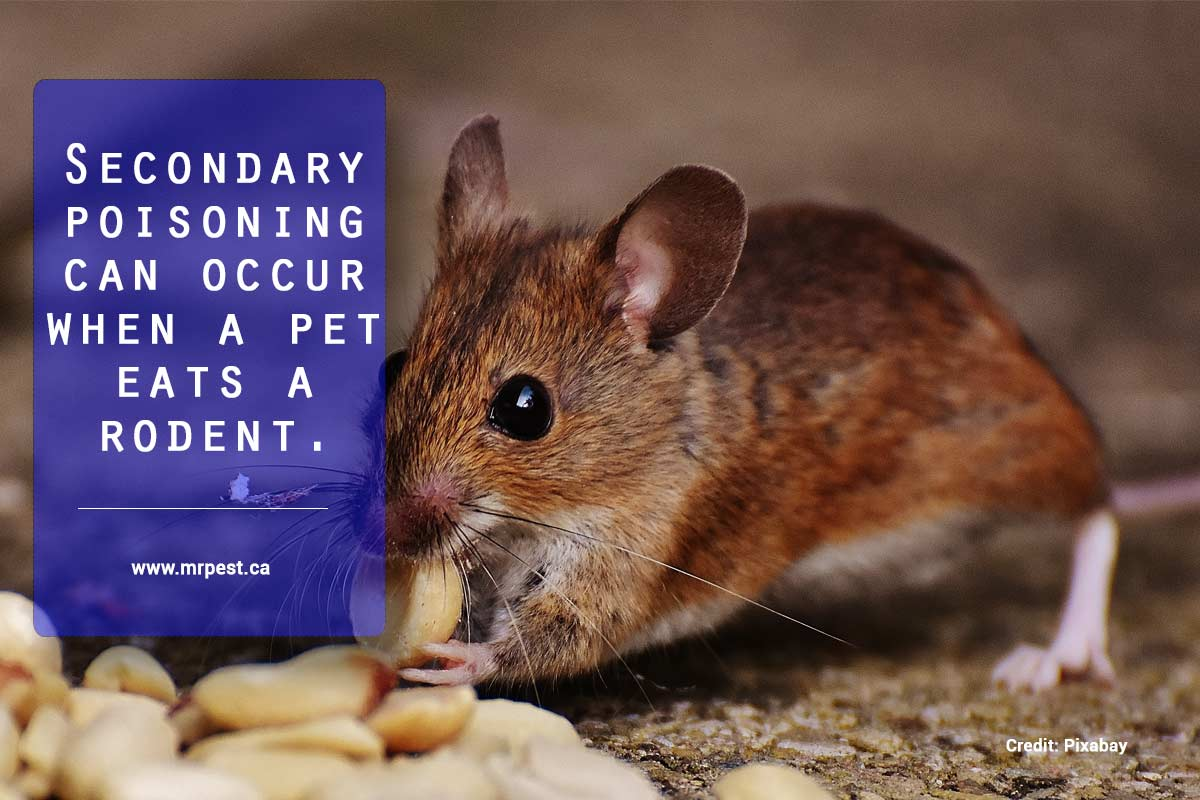 Secondary poisoning can occur when a pet eats a rodent.