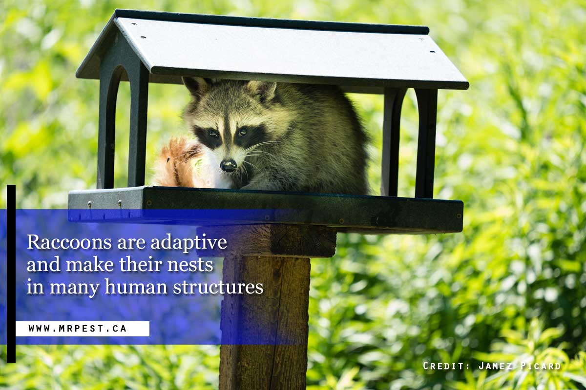 Raccoons are adaptive and make their nests in many human structures