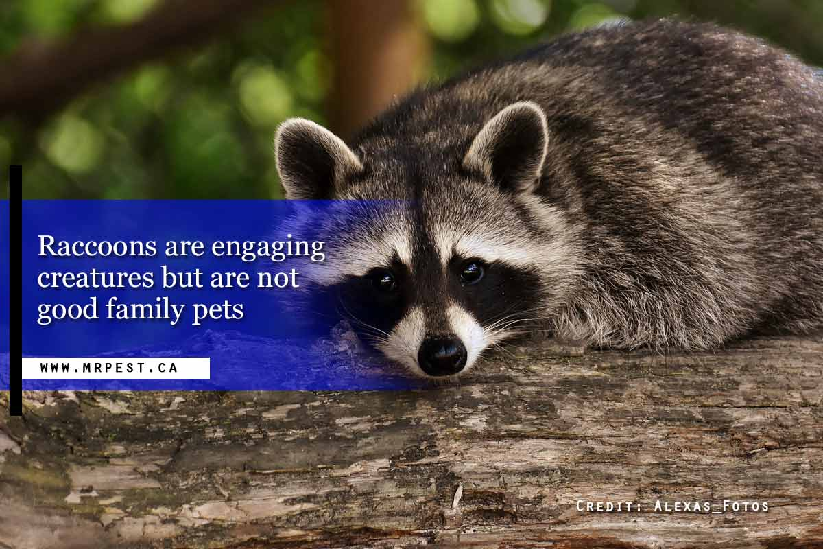 Raccoons are engaging creatures but are not good family pets