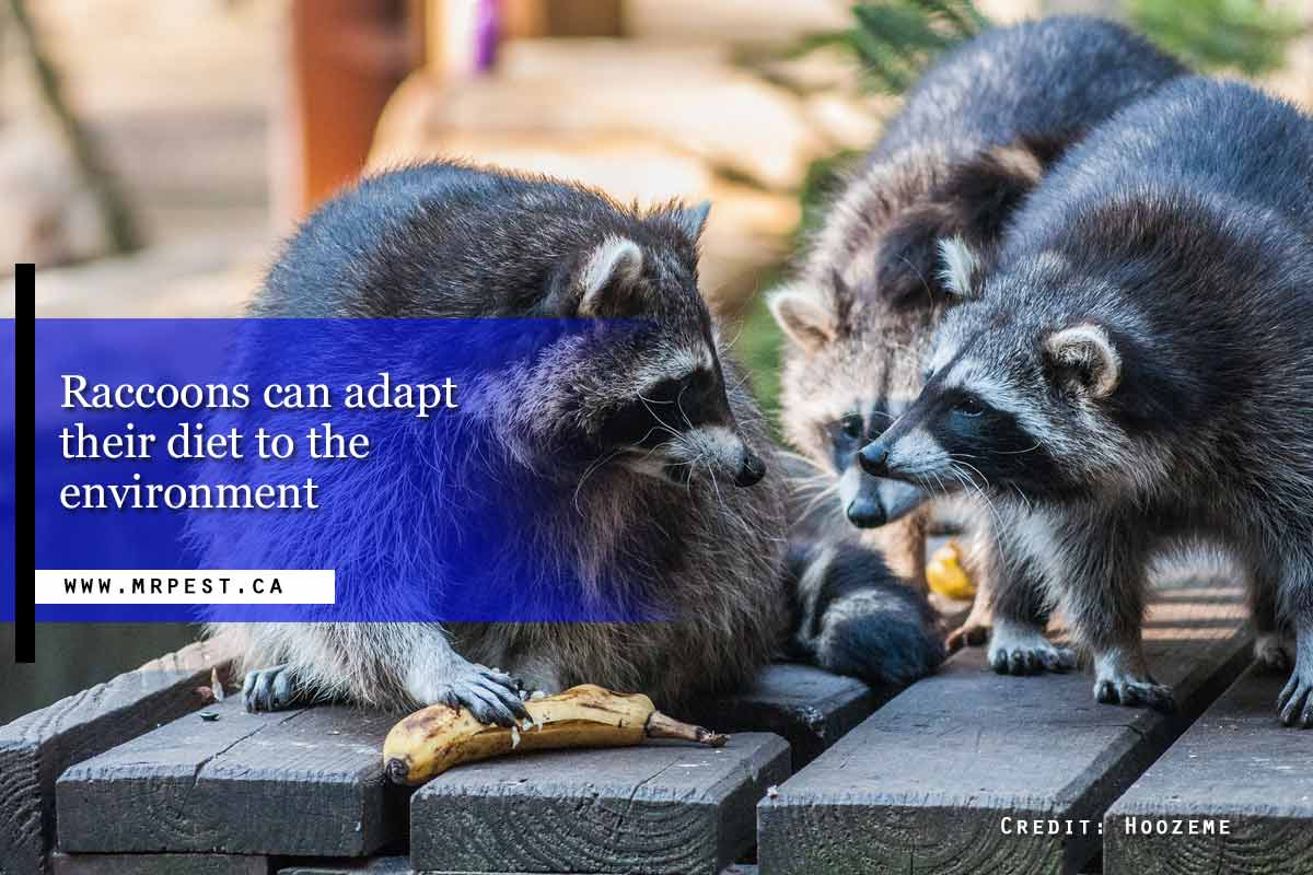 Raccoons can adapt their diet to the environment