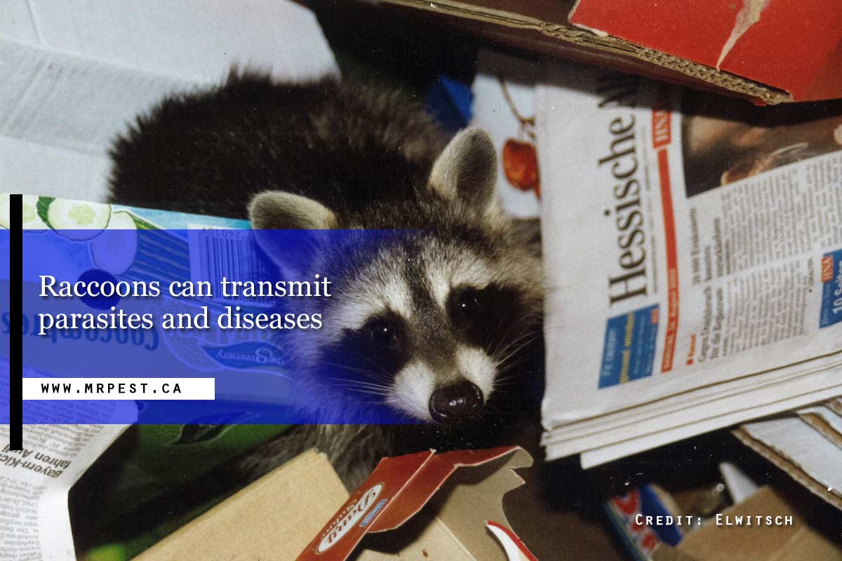 Raccoons can transmit parasites and diseases