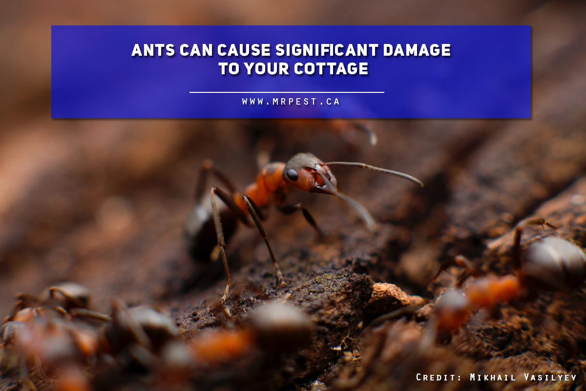 Ants can cause significant damage to your cottage