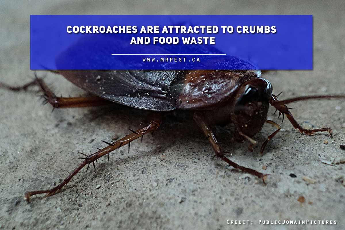 Cockroaches are attracted to crumbs and food waste