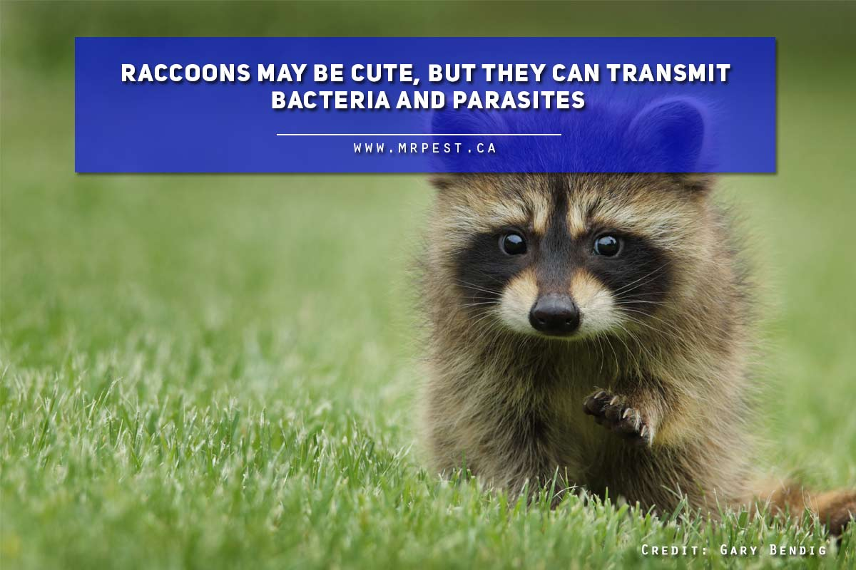Raccoons may be cute, but they can transmit bacteria and parasites