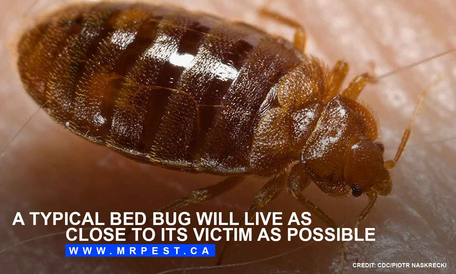 A typical bed bug will live as close to its victim as possible