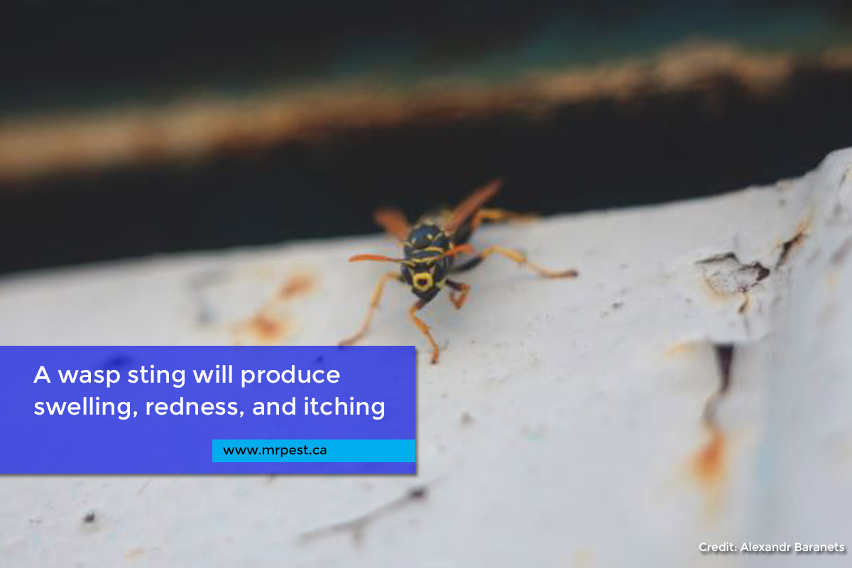 A wasp sting will produce swelling, redness, and itching