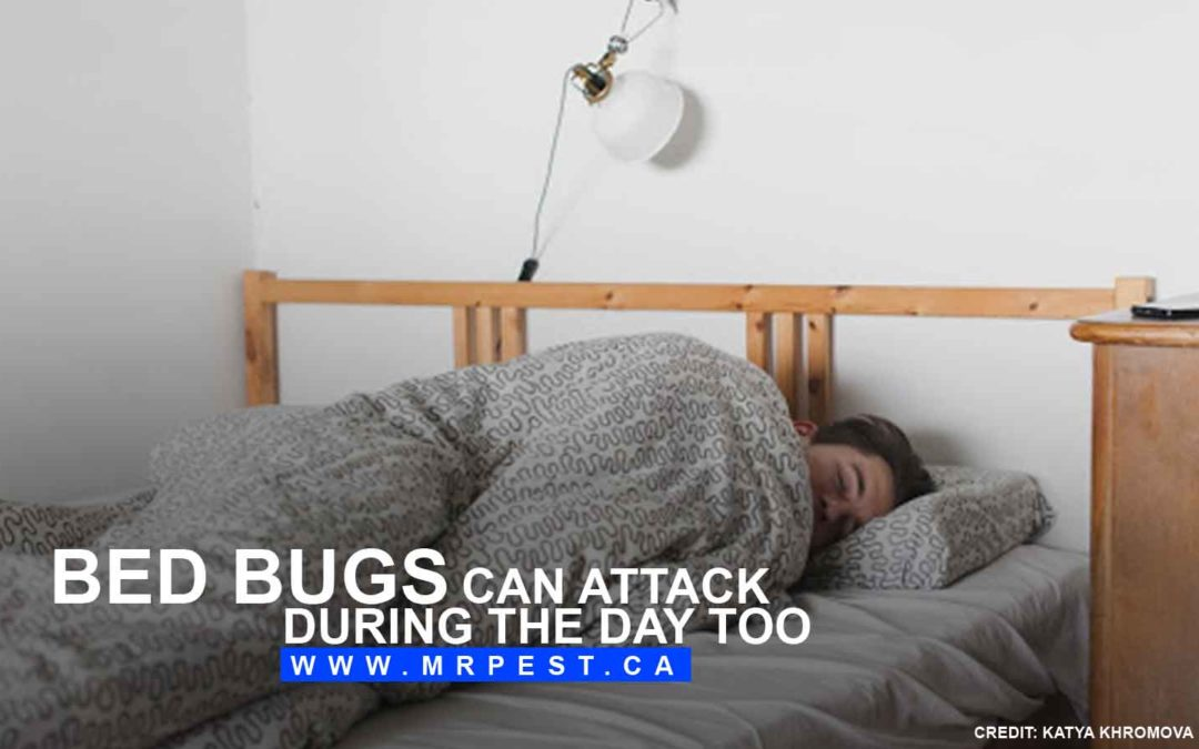 Bed bugs can attack during the day too