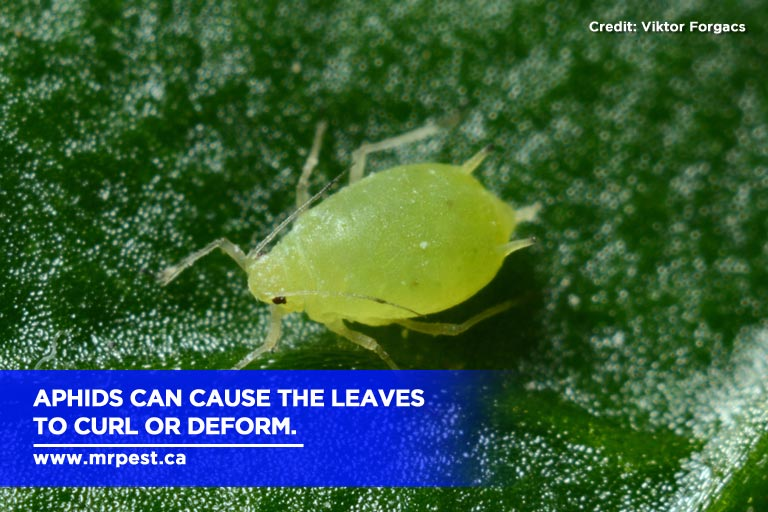 Aphids can cause the leaves to curl or deform.