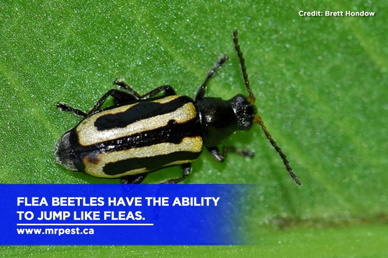 Flea beetles have the ability to jump like fleas.