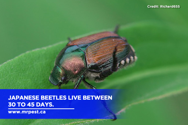 Japanese beetles live between 30 to 45 days.