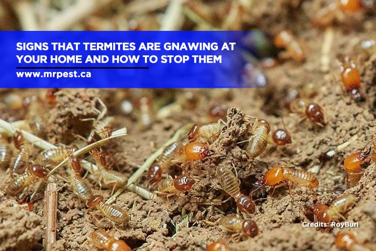 Termites Are Gnawing at Your Home