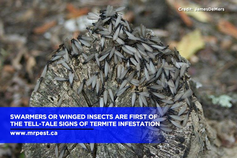 Swarmers or winged insects are first of the tell-tale signs of termite infestation