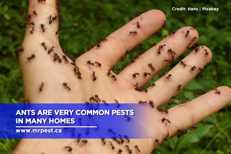 Ants are very common pests in many homes