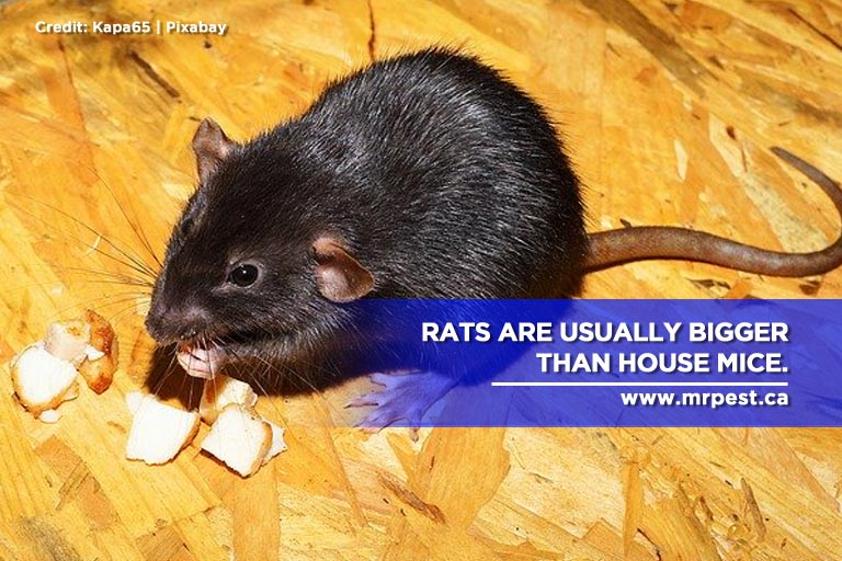 Rats are usually bigger than house mice.