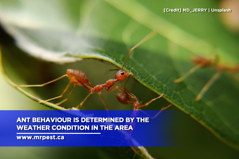 Ant behaviour is determined by the weather condition in the area