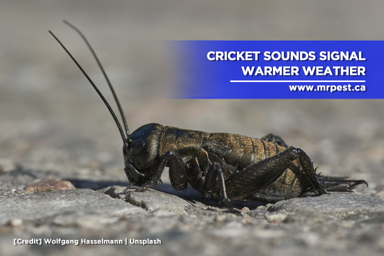 Cricket sounds signal warmer weather