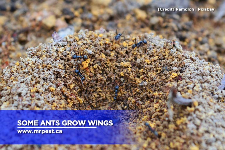 Some ants grow wings