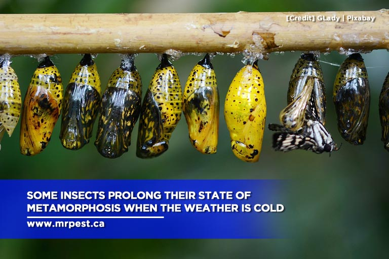 Some insects prolong their state of metamorphosis when the weather is cold
