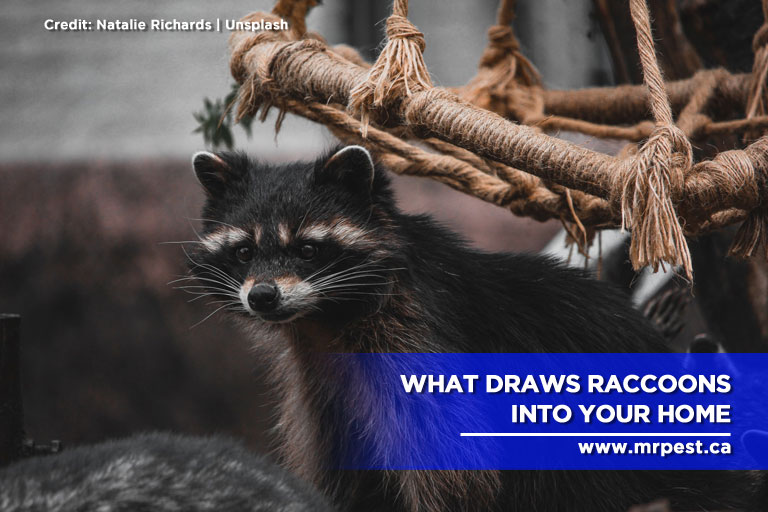 What Draws Raccoons Into Your Home