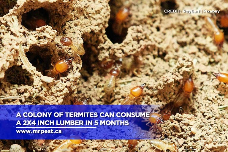 A colony of termites can consume a 2x4 inch lumber in 5 months