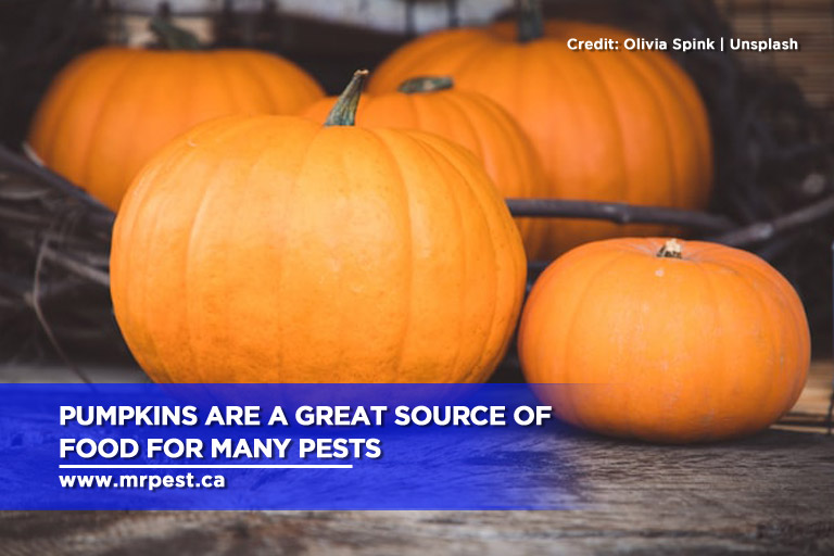 Pumpkins are a great source of food for many pests