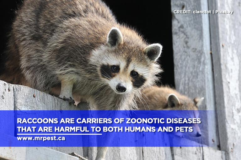 Raccoons are carriers of zoonotic diseases that are harmful to both humans and pets