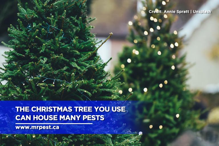 The Christmas tree you use can house many pests