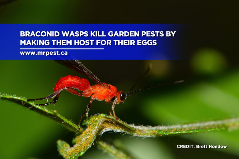 Braconid wasps kill garden pests by making them host for their eggs