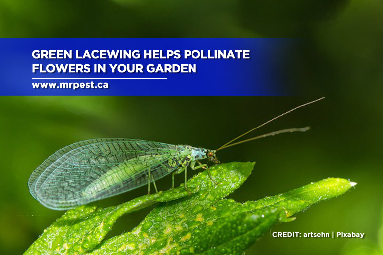 Green lacewing helps pollinate flowers in your garden