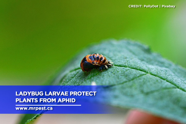 Ladybug larvae protect plants from aphid
