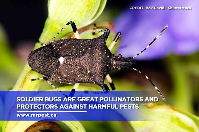 Soldier bugs are great pollinators and protectors against harmful pests