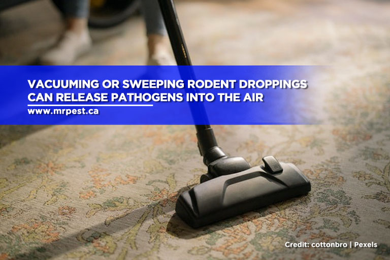 Vacuuming or sweeping rodent droppings can release pathogens into the air
