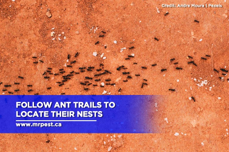 Follow ant trails to locate their nests