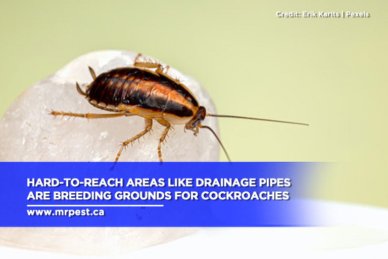 Hard-to-reach areas like drainage pipes are breeding grounds for cockroaches
